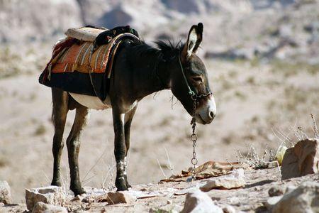petra  jordan: Donkey inside Petra, Jordan Stock Photo