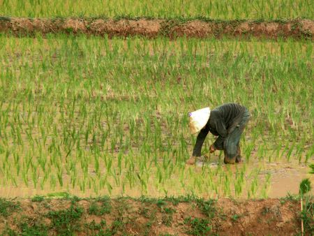 ricefield: Farmer working in ricefield