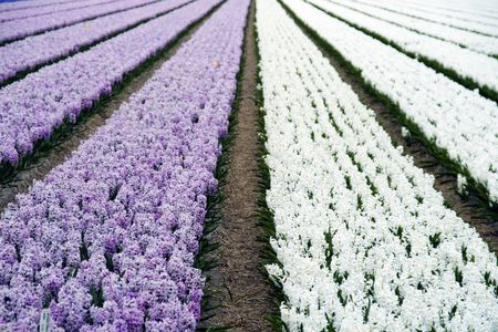 Field of hyacinths in purple and white photo