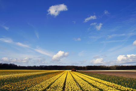 Field of yellow daffodils under a blue sky photo