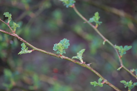 New leaves appearing on a shrub