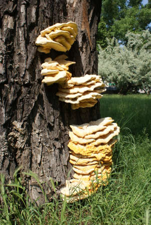 sha: fungi on the tree Stock Photo