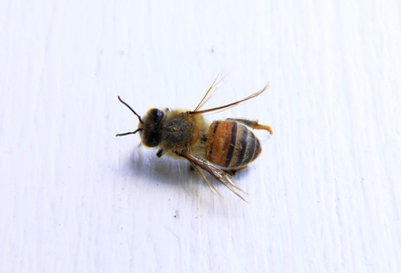 inactive: closeup of a dead bee with white background