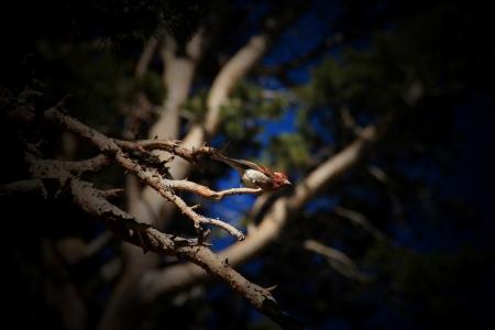 sierras: A Song Bird in the High Sierras