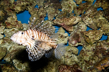 Lionfish from San Diego Birch Aquarium. Stock Photo