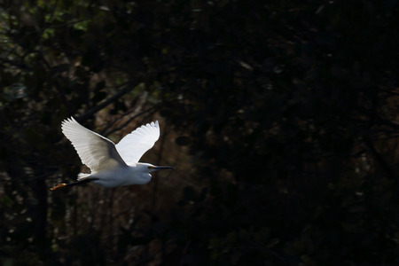 Snowy egret flying in front of dark bushes Фото со стока