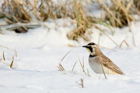 snowy field: Horned lark standing in snowy field