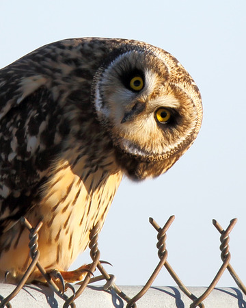 head tilted: One Short-eared owl looking at you with a tilted head