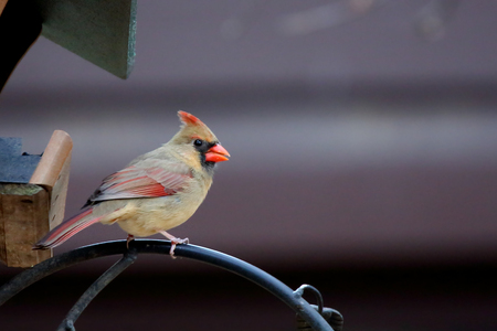 One female Northern Cardinal sitting on a branch