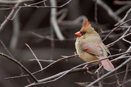 One female Northern Cardinal sitting in branches Stock Photo