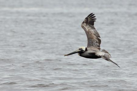 One Brown pelican flying over water