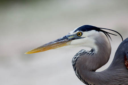 water bird: Head and shoulders of one Great Blue Heron