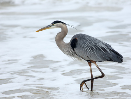 One Great Blue Heron walking along the surf