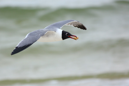 Laughing gull flying with a peanut in it's beak