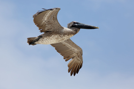 glide: One Brown Pelican flying above with a blue sky Stock Photo