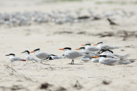 A dozen Royal terns standing and sitting in a colony on the beach