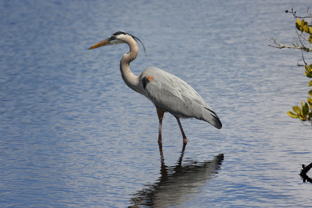 One Great Blue Heron hunting in a saltwater marsh
