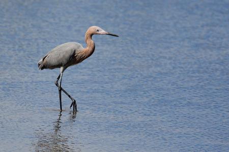 reddish: One Reddish egret wading in a saltwater marsh