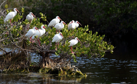 roosting: Group of American White Ibis in a bush