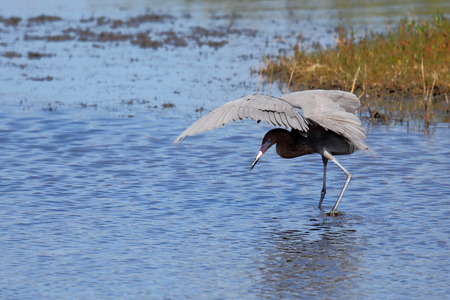 reddish: One Reddish egret hunting in a shallow estuary Stock Photo