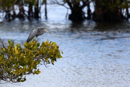 roosting: One Tri-colored heron standing on a bush over a marsh