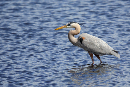 One Great Blue Heron hunting in a saltwater marsh with blue water Imagens