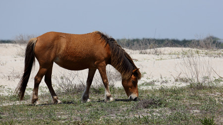 The wild Spanish mustangs of Shackleford Banks North Carolina