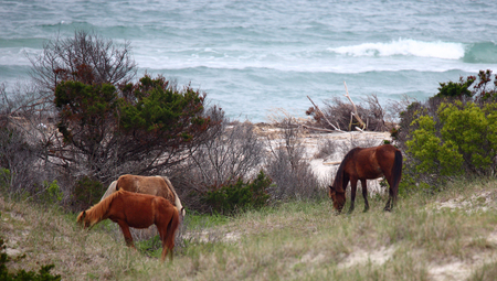 barrier island: Wild Spanish horses of Shackleford Banks North Carolina
