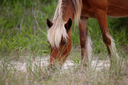 The Wild mustangs of Shackleford Banks, North Carolina