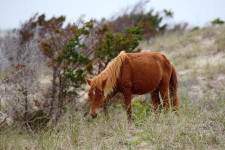 barrier island: Wild Spanish mustangs of Shackleford Banks North Carolina