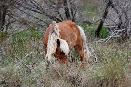 barrier island: The Wild Horses of Shackleford Banks