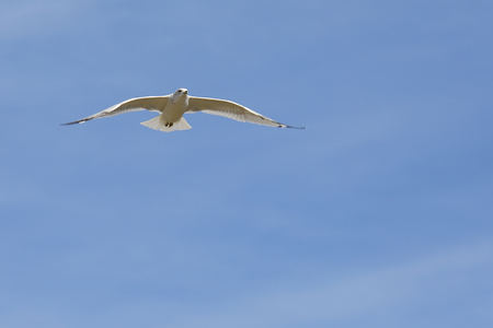wingtips: White gull gliding with a blue sky