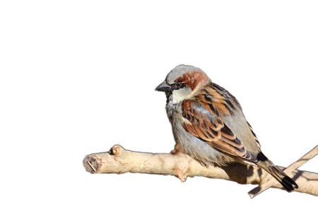 Sparrow zittend op een tak met een witte achtergrond Stockfoto