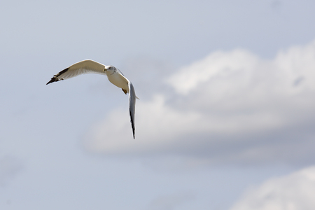 wingtips: One Ring-billed seagull with black wingtips flying with a blue sky and clouds Stock Photo