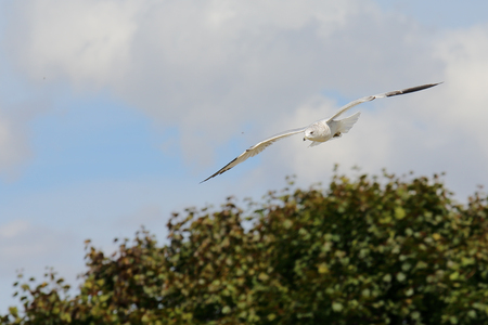wingtips: One Ring-billed seagull with black wingtips flying with a blue sky and trees