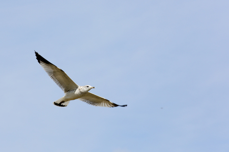 wingtips: One Ring-billed seagull with black wingtips flying with a blue sky
