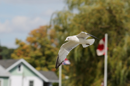 One Ring-billed seagull with black wingtips flying with a blue sky and trees