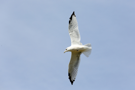wingtips: One seagull with black wingtips flying with a blue sky