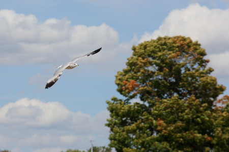 seagull with black wingtips flying with a blue sky and trees