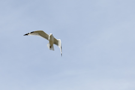 One seagull with black wingtips flying with a blue sky