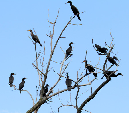 Collection of double breasted cormorants perched in a tree Stock Photo