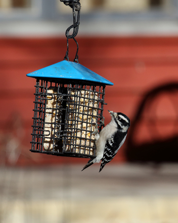 downy woodpecker: One Downy woodpecker at a suet feeder