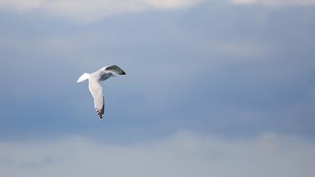 One herring gull flying against a cloudy sky