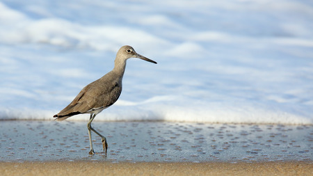 seabird: One willet walking at the edge of surf