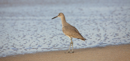 seabird: One willet standing at waters edge