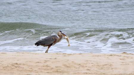 gray herons: Great Blue Heron on shore with a large fish Stock Photo