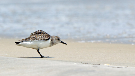 One Sanderling walking near surf on the Gulf of Mexico