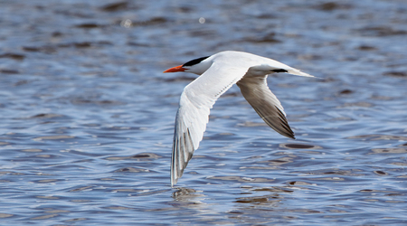 One Caspian tern flying with wingtips against water
