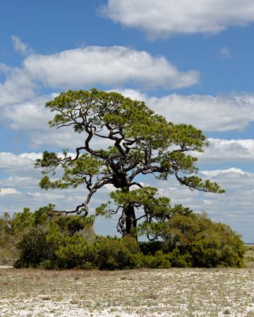 Single mature weathered pine tree on a sandy island in Florida