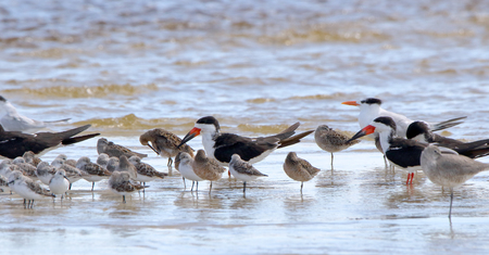 A group of oystercatchers willets and sanderlings sanding in shallow seawater